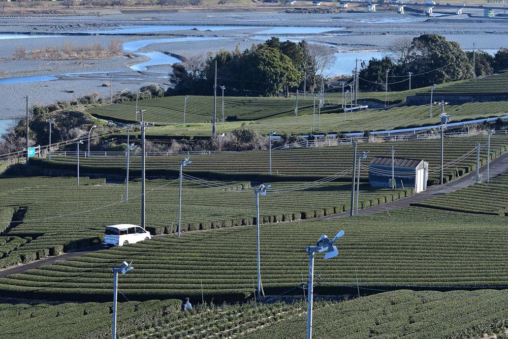 大井川を下流には、お茶畑が広がっています