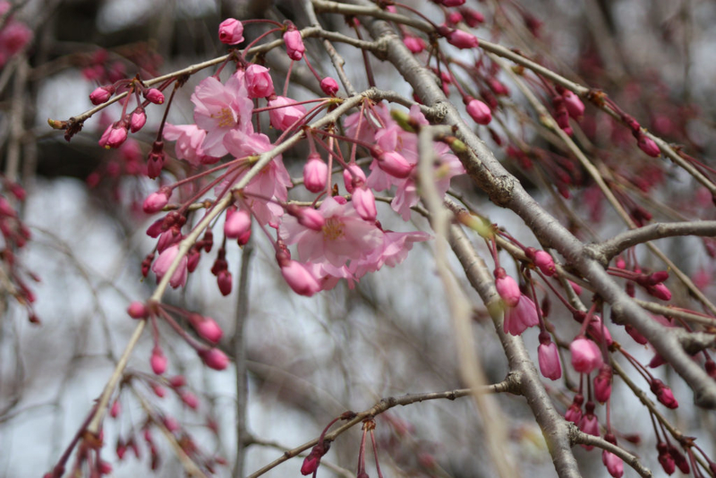 IMG_2011桜 #2