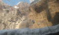 旭山動物園:しろくま 嘘