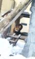 旭山動物園:レッサーパンダさん