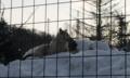 旭山動物園:おおかみ