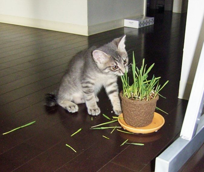 猫草を食べる子猫
