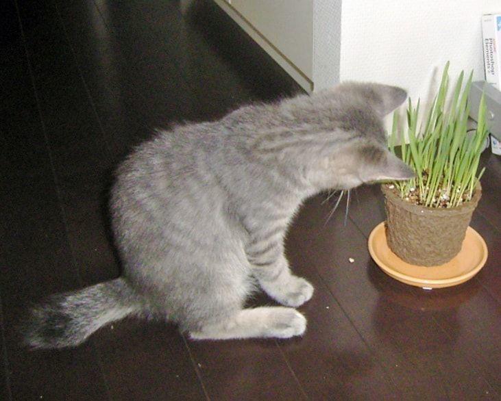 猫草に首かしげる子猫