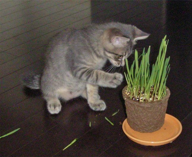 猫草に手を出す子猫