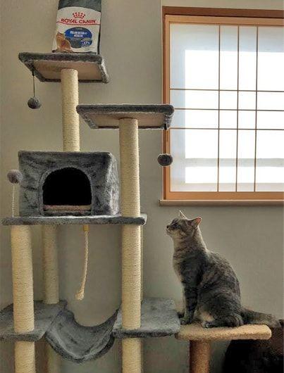 キャットタワーを見上げる猫