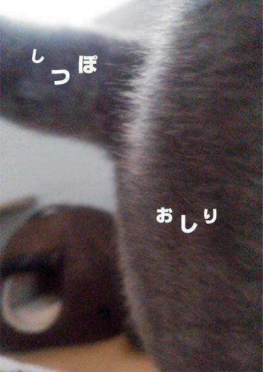 グレー猫のアップ
