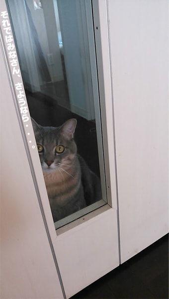 白い扉のから見つめる猫