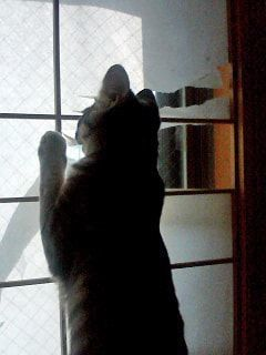 障子紙を破き続ける猫