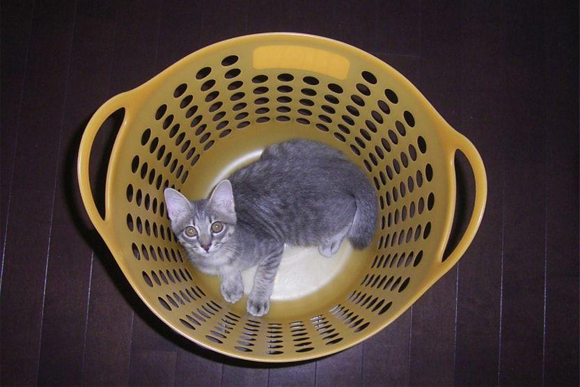 黄色いカゴの中から見る猫