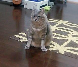 謝っているように見える猫