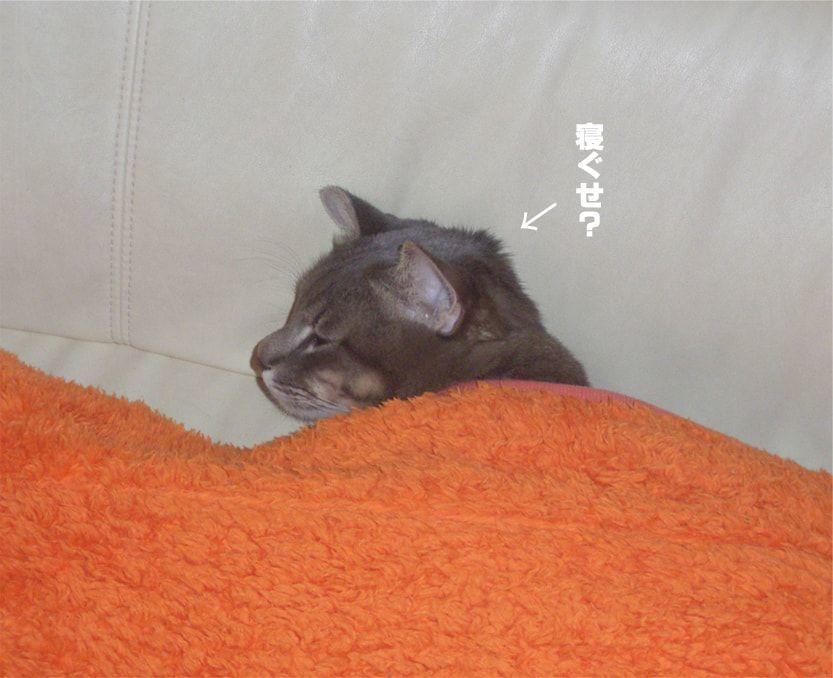 寝ぐせをつけた猫