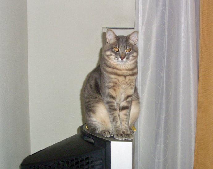 テレビ上に座る猫