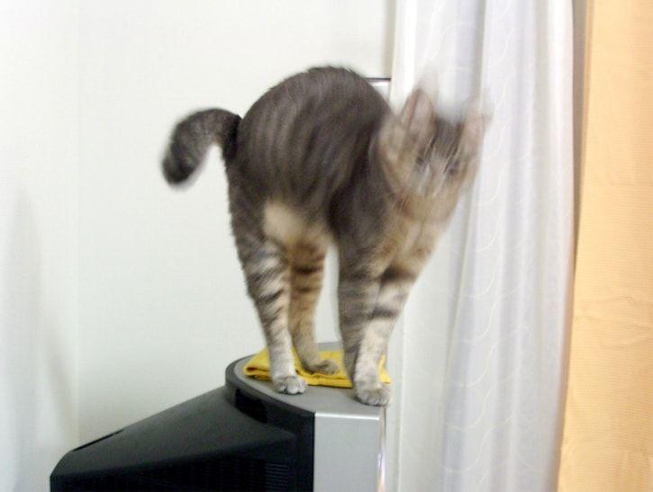 変身するようなポーズの猫