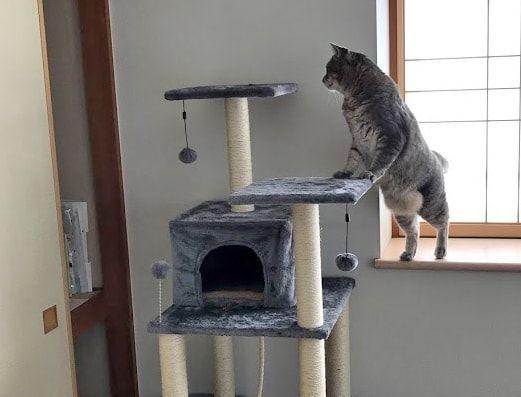 ぽんぽこお腹でキャットタワーへ行く猫