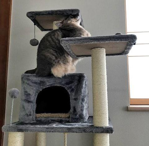キャットタワーの途中で頭をぶつける猫