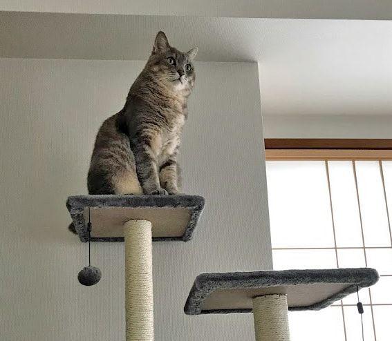 キャットタワーのてっぺんまで登れた猫