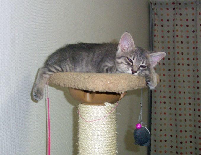 キャットタワーてっぺんでうとうとする子猫