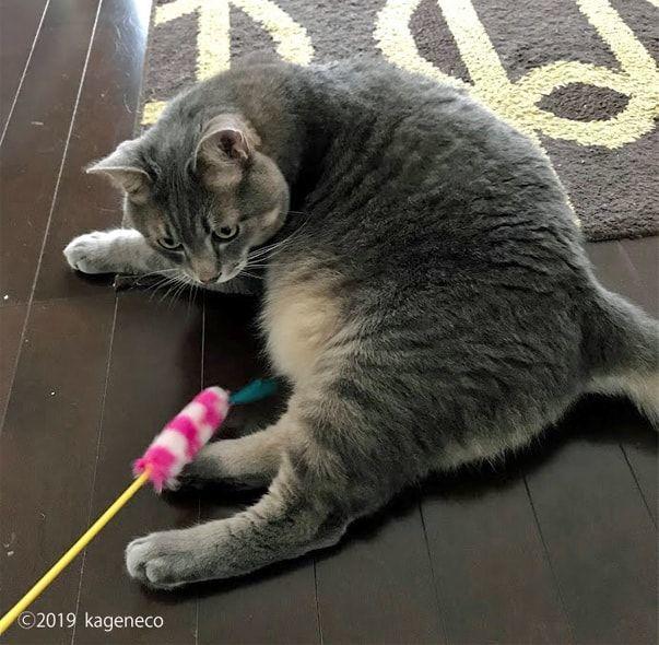 ピンク色の猫じゃらしを見つめる猫
