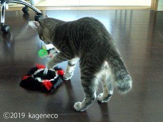 立派な猫じゃらしと戯れる猫