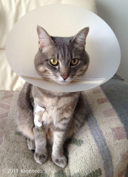 エリザベスカラーに少し慣れて来た猫