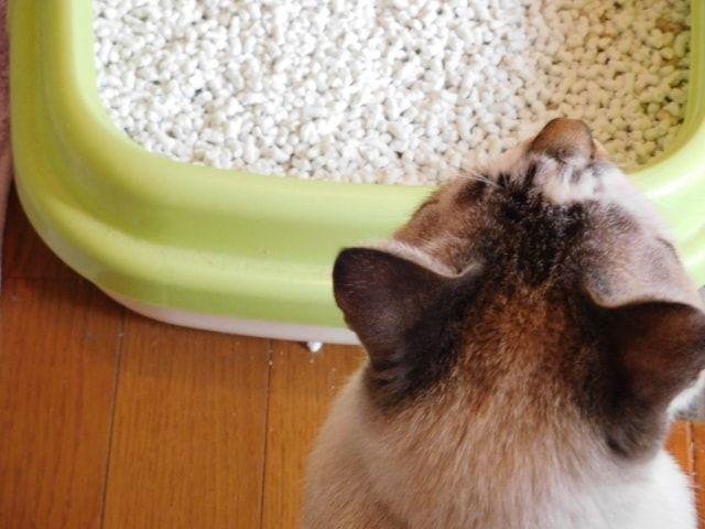 黄緑色の猫トイレを見つめる猫