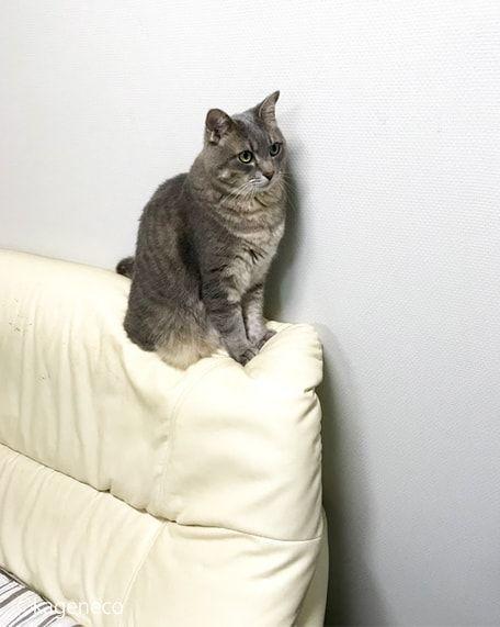 ソファのてっぺんに座る成猫2