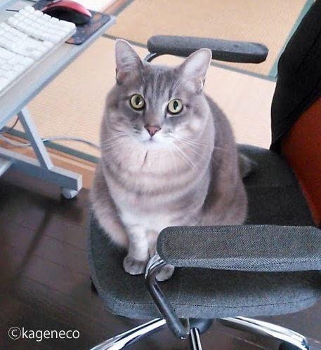 パソコンチェアに座る猫