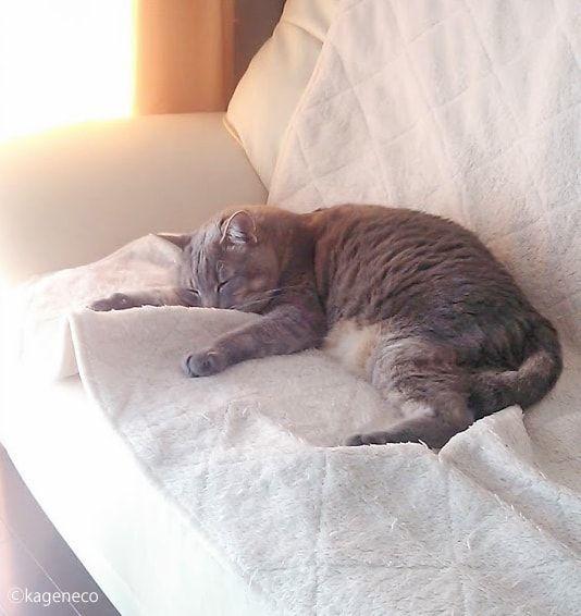 白いソファの上で眠る猫