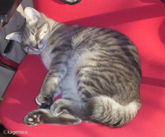 赤い椅子の上でたまらず眠ってしまった猫