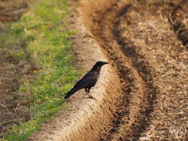 地面に1羽で佇むカラス