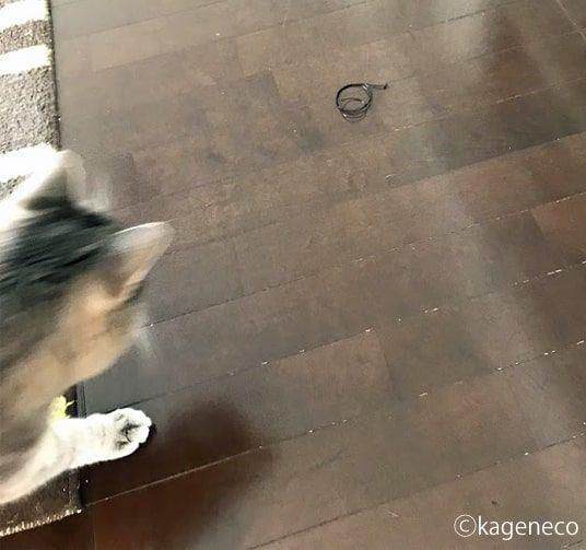 弦を見つけて一目散に走る猫