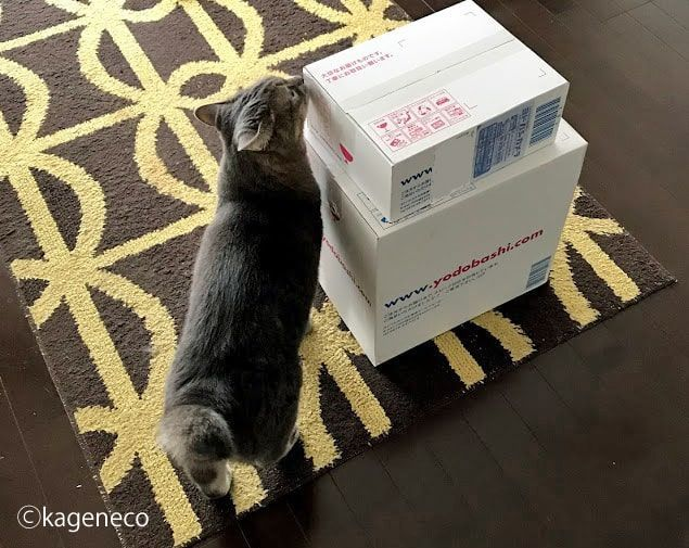 新しく家に届いた白い箱の匂いを嗅ぐ猫