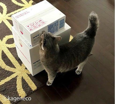引き続き白い箱の匂いを入念に嗅ぎ続ける猫