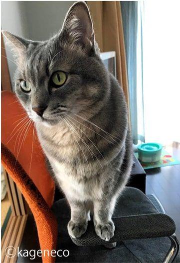 オレンジ色の背もたれのイスに立つ猫