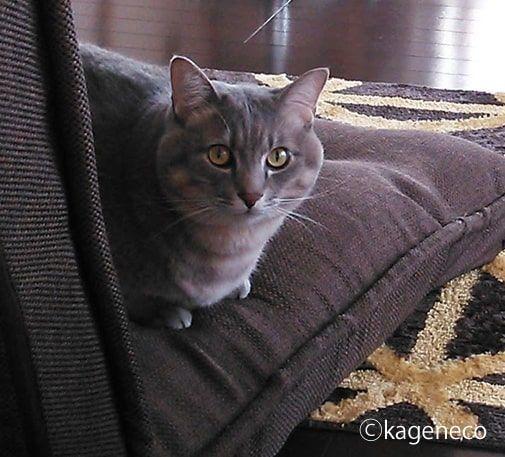 ブラウンの座椅子に座り振り返る猫
