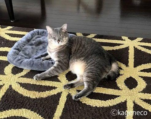 グレーのクッションの上でくつろぐ猫