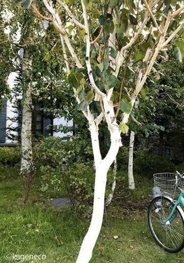 街中で見た白樺の木