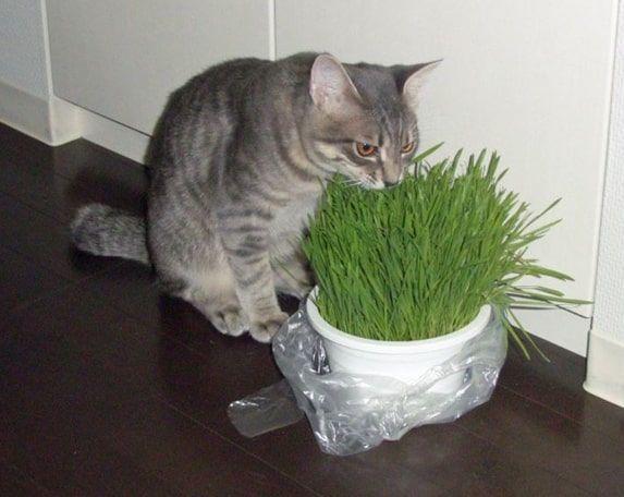猫草を食べる成猫