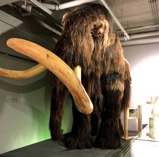 博物館内に展示されたマンモス
