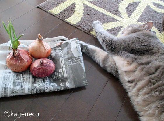 玉ねぎから伸びる緑色の芽を食べようとしたけど諦めた猫