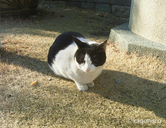 芝生の上で気持ち良さそうなハチワレ猫