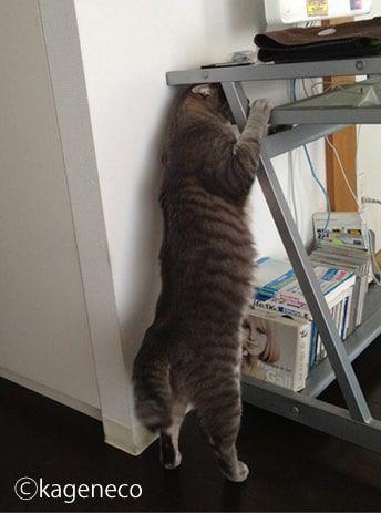 引き続き2本足でデスク上を探す猫