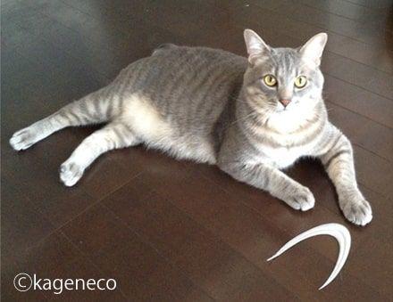やっと取れた!と探し続けた物を床に置いた猫