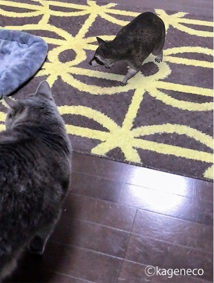 猫の前方にARのアライグマが出現