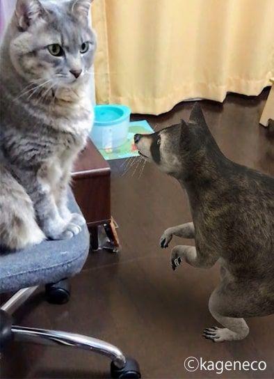 ARのアライグマに見つめられる猫