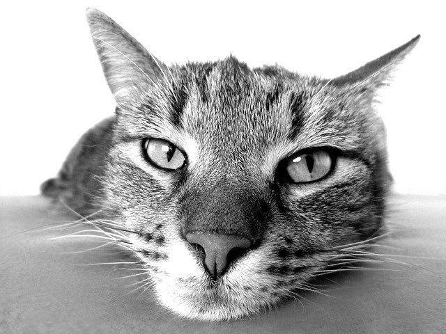 ぼーっと前を見つめている猫のモノクロ写真