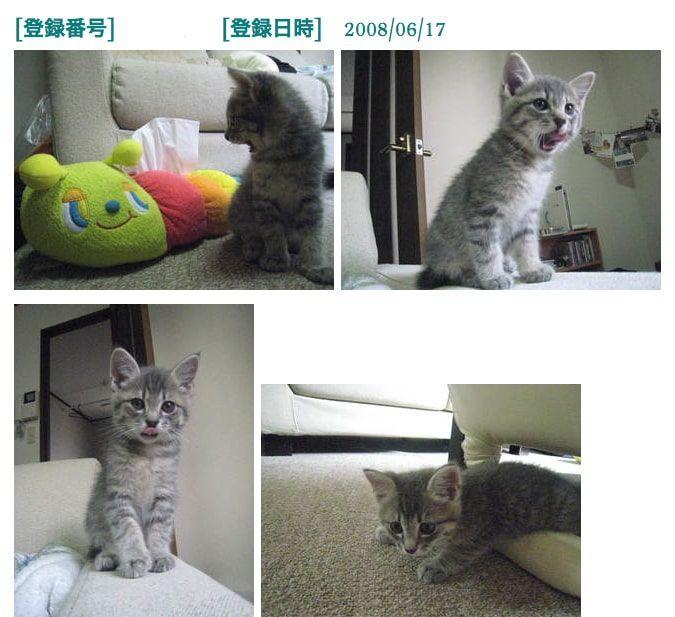 里親募集サイトへ掲載されていた子猫「かげとら」