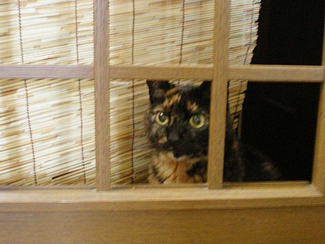 すだれを背に部屋を覗くさび猫