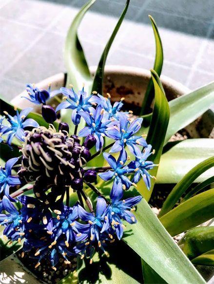 ブルーの小さい花を沢山つけたベランダのシラー