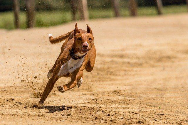 颯爽と走る姿を見せる犬